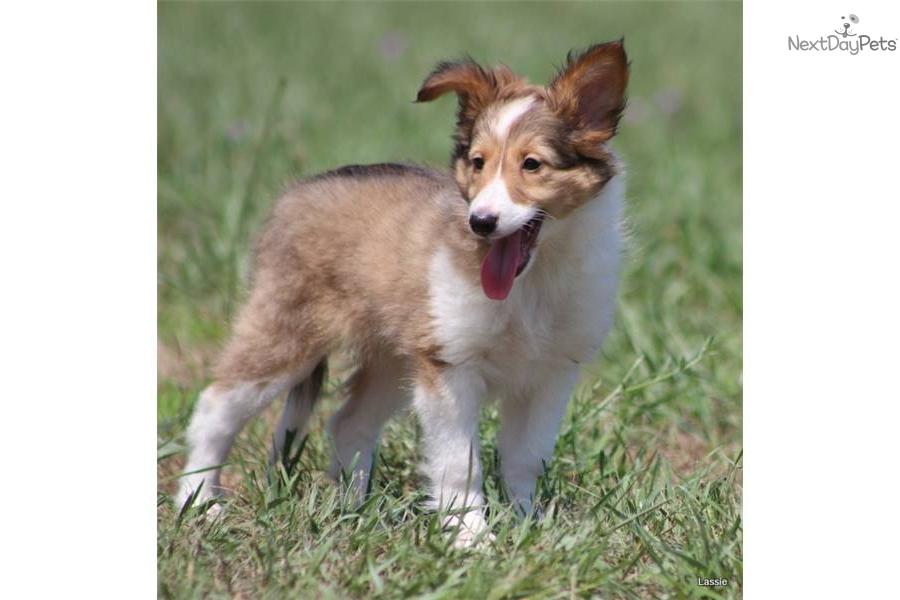 Meet Lassie a cute She...
