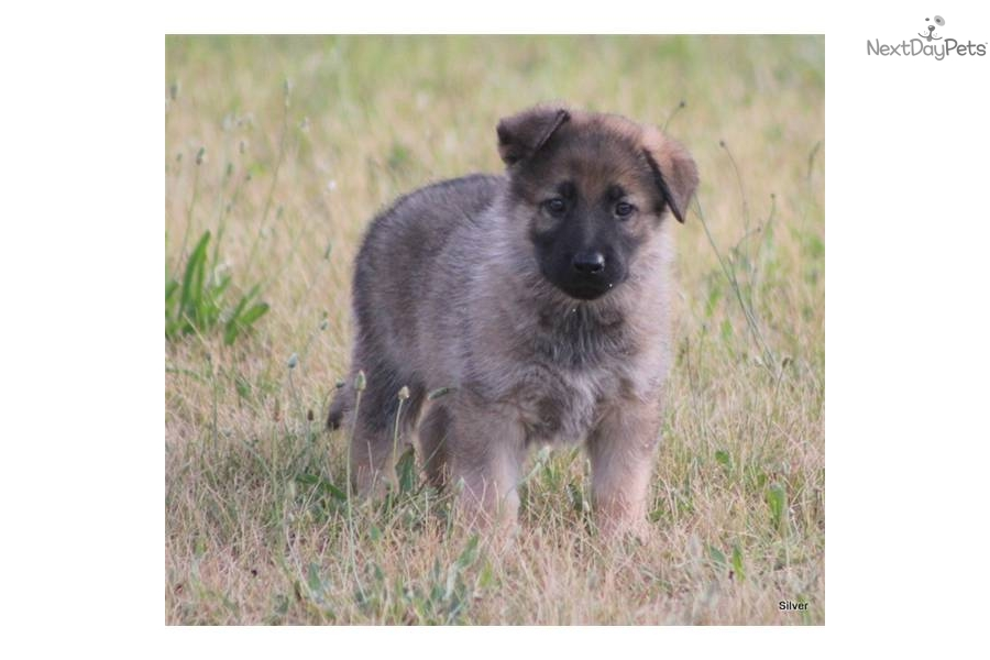 Meet Silver a cute German Shepherd puppy for sale for $475 ...