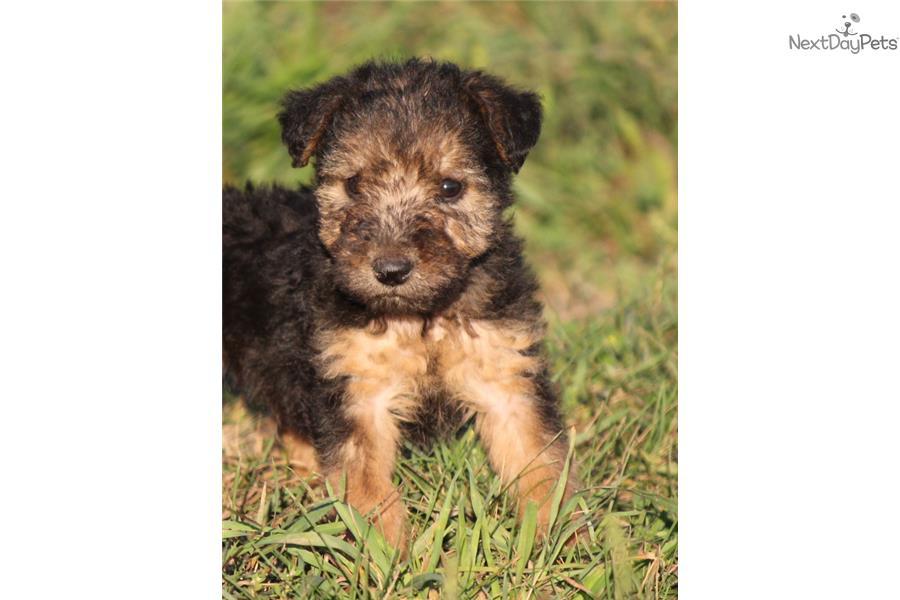 Price Of Welsh Terrier Parker | Welsh Terrier...