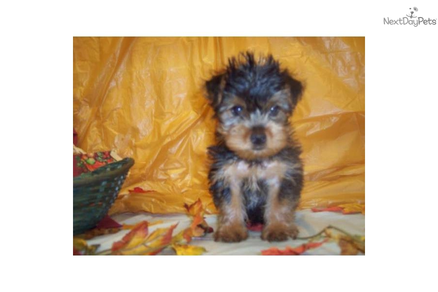Yorkie Haircuts Pictures Yorkshire Terrier