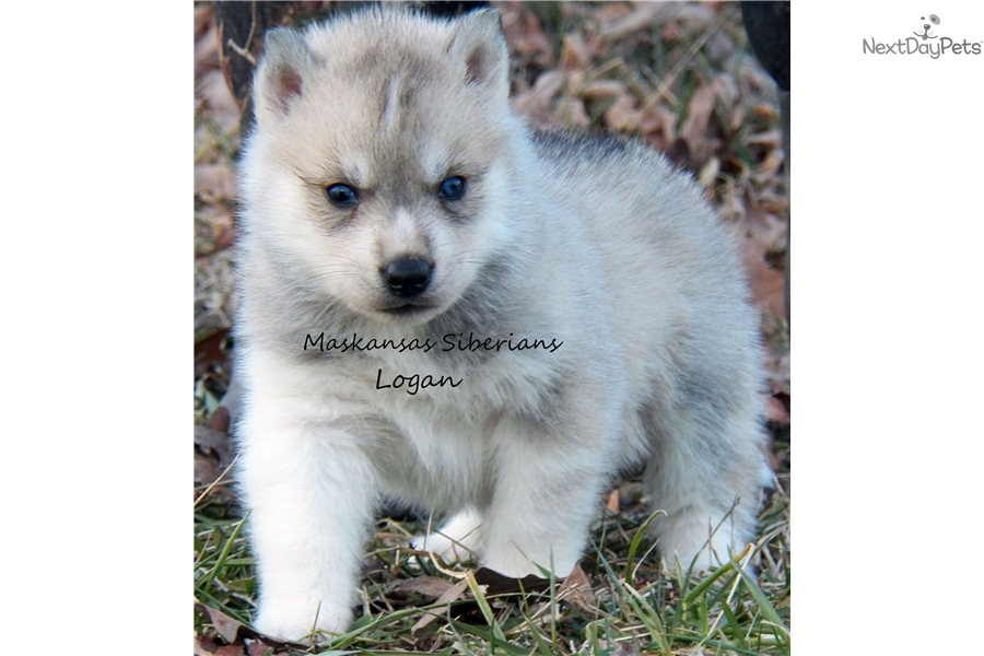 AKC Husky Puppies for Sale Alabama Breeder Husky Puppies For Sale