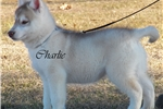 Picture of Handsome Red/White boy Charlie $650