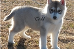 Picture of Handsome Gray/White boy Todd $650
