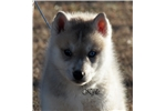 Picture of Handsome Gray/White boy Kyle $650