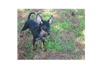 Picture of a Manchester Terrier Puppy