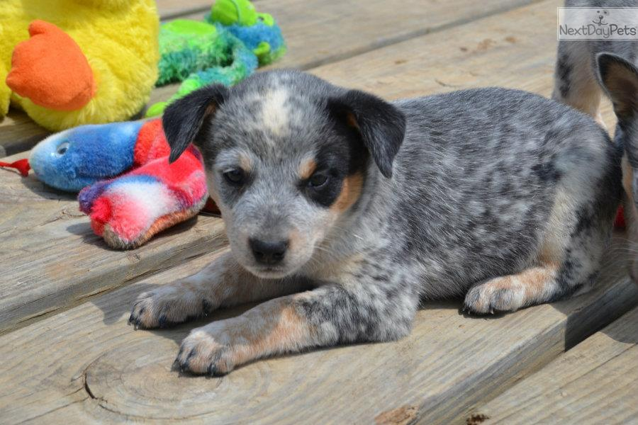 Australian Cattle Dog Puppies For Sale Near Me