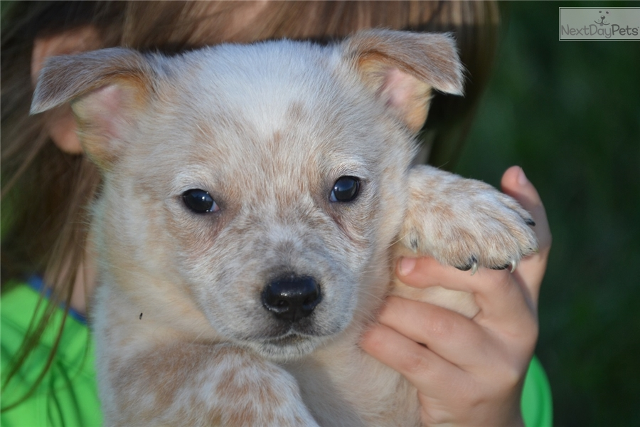 Fotos - Yorkie Yorkshire Terrier Mix Dog For Adoption In Gun Barrel ...