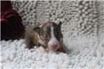 Picture of Female Sheltie Mary Ann