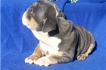 Picture of English Bulldog Baby