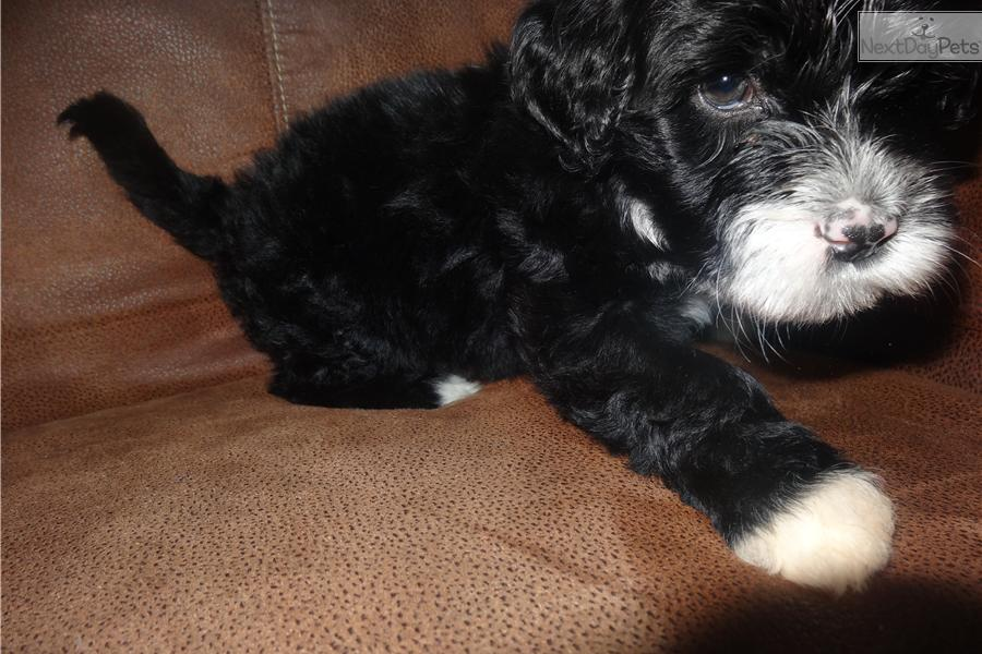 meet john a cute portuguese water dog puppy for sale for