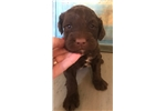 Portuguese Pointer for sale