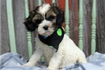 Tibetan Terriers for sale