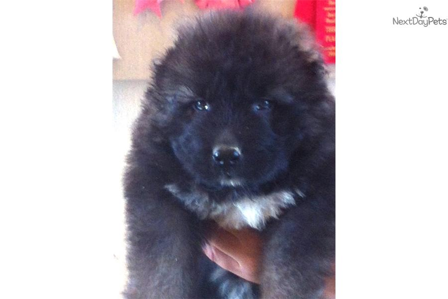 Meet Male a cute Caucasian Mountain Dog puppy for sale for $0. KAZAR
