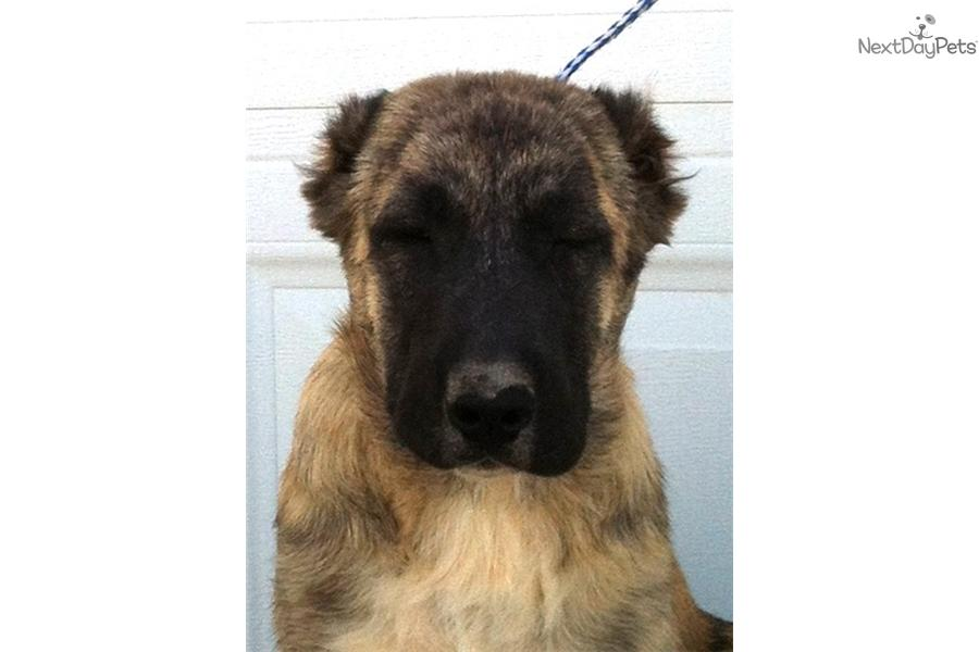 Meet Female a cute Caucasian Mountain Dog puppy for sale for $0