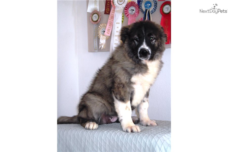 Meet Emma a cute Caucasian Mountain Dog puppy for sale for $0. Long