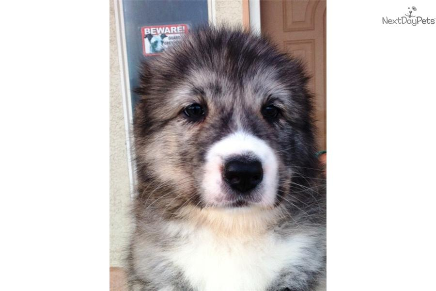 Meet Female a cute Caucasian Mountain Dog puppy for sale for $0. IRMA
