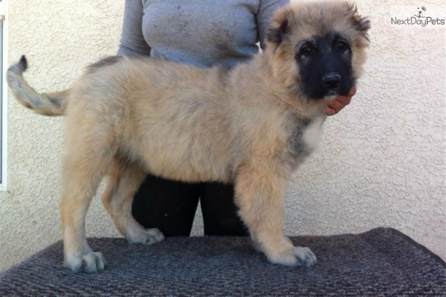 Caucasian mountain dog puppy for sale near las vegas nevada