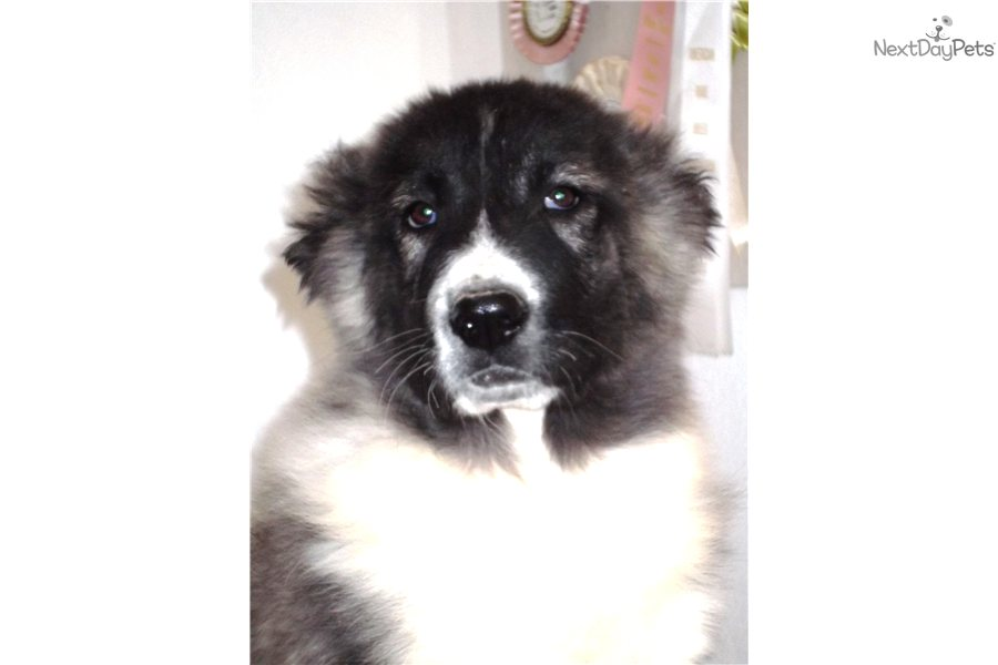 Meet Electra a cute Caucasian Mountain Dog puppy for sale for $0. Long