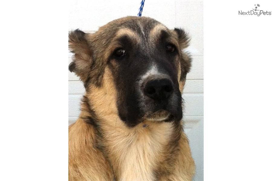 Meet Male a cute Caucasian Mountain Dog puppy for sale for $0. Gavrosh