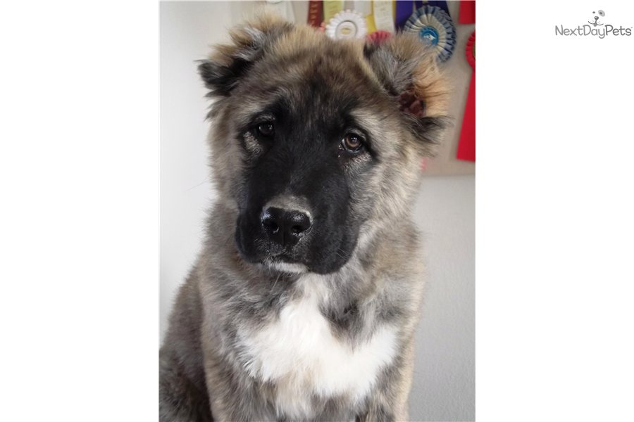 Meet Evropa a cute Caucasian Mountain Dog puppy for sale for $0