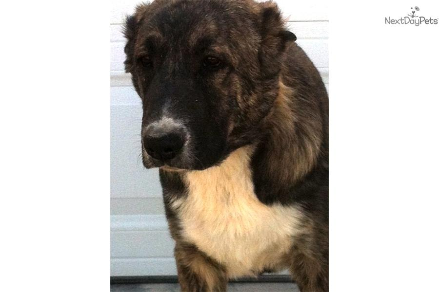 Meet Female a cute Caucasian Mountain Dog puppy for sale for $0. Young