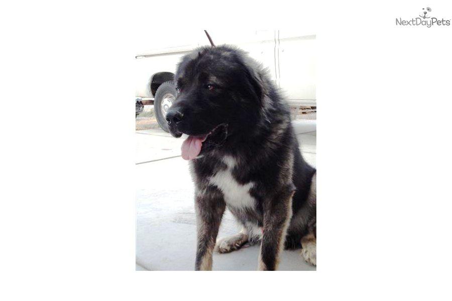 Meet Fakir a cute Caucasian Mountain Dog puppy for sale for $0. Fakir