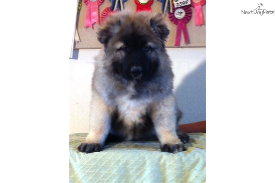 Meet Haney a cute Caucasian Mountain Dog puppy for sale for $0. Hanna