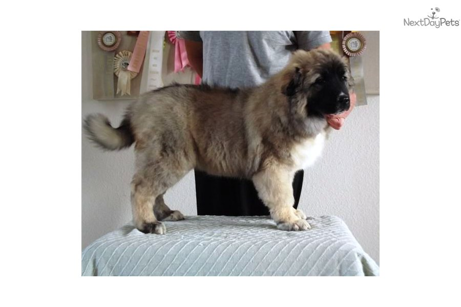 Meet Dana a cute Caucasian Mountain Dog puppy for sale for $3,000