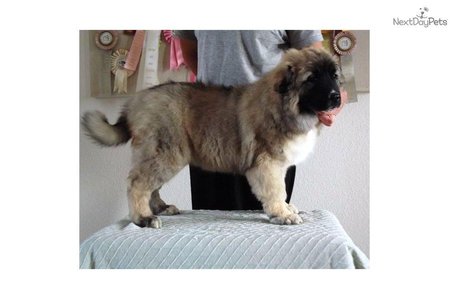 Meet Dana a cute Caucasian Mountain Dog puppy for sale for $3,000
