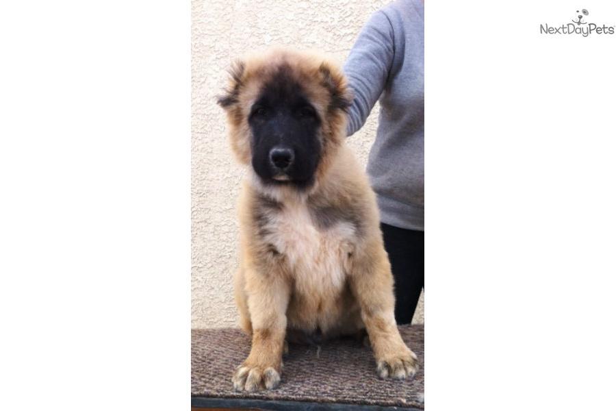 Russian mountain dog puppy caucasian mountain dog puppy giant giant