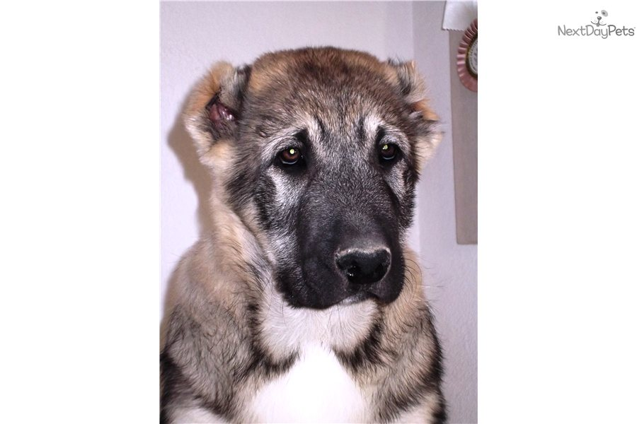 Meet Egor a cute Caucasian Mountain Dog puppy for sale for $0. Short