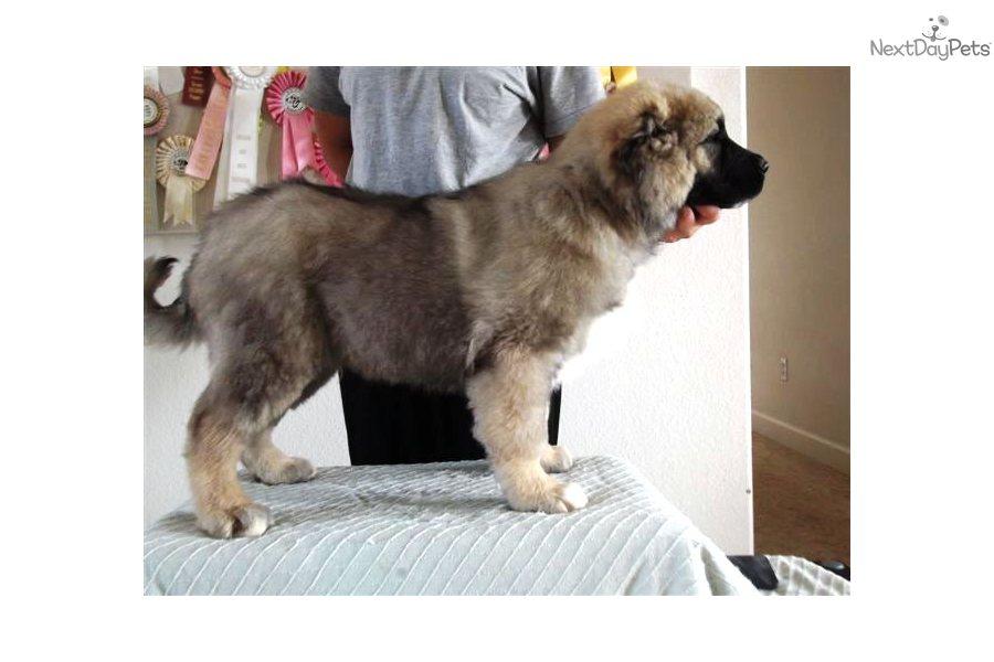 Meet Dragun a cute Caucasian Mountain Dog puppy for sale for $3,000