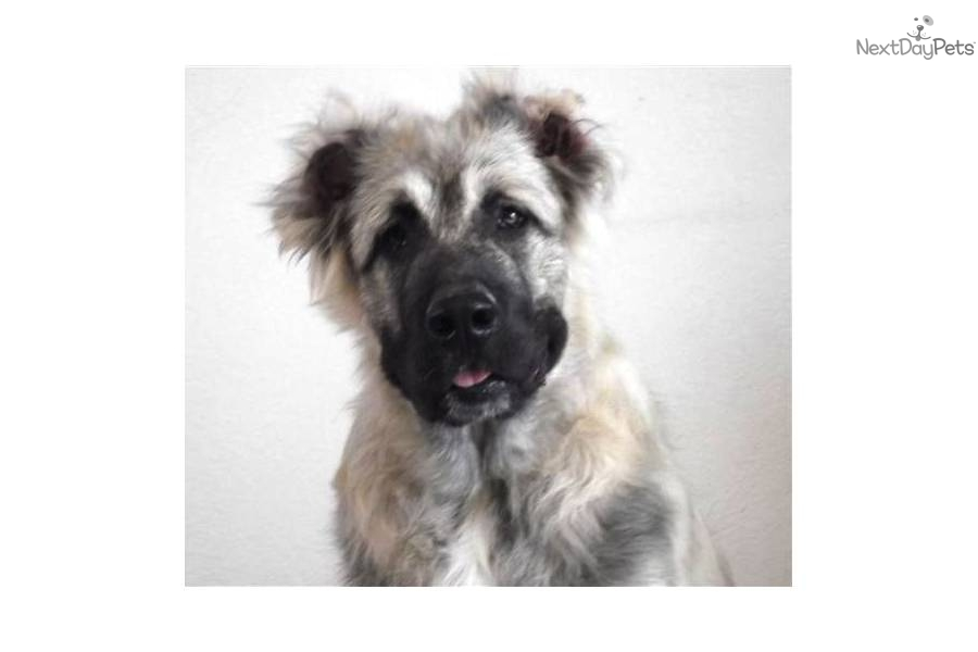 Caucasian Mountain Dog puppy for sale for $0. Caucasian Ovcharka