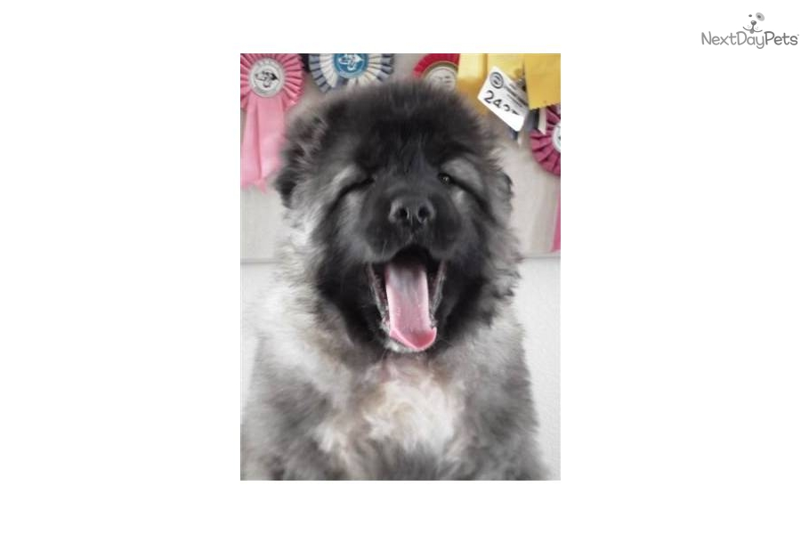 Caucasian Mountain Dog puppy for sale for $0. Caucasian Ovcharka MALE