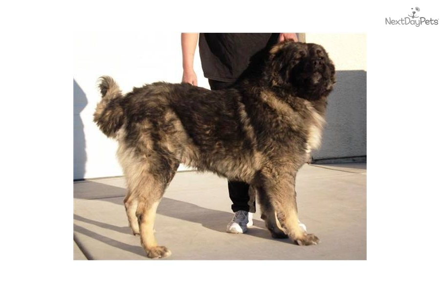 Caucasian Mountain Dog puppy for sale for $0. Caucasian Ovcharka Puppy