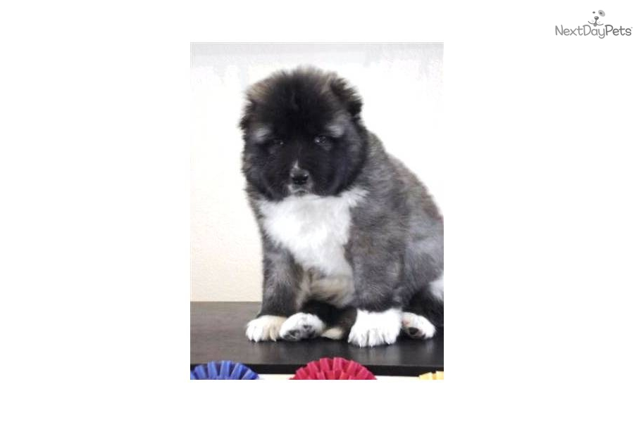 Caucasian mountain dog puppy for sale for 0 caucasian ovcharka puppy