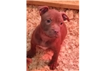 Picture of american pit bull red nose female
