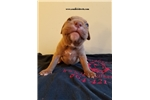 Picture of american pit bull red nose female # 1