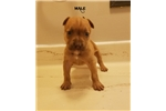 Picture of american pit bull red nose male