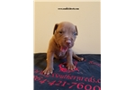 Picture of american pit bull red nose female # 4