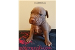 Picture of american pit bull red nose female #2
