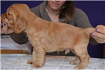 Picture of Show quality gold male for sale