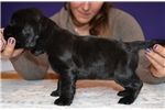Picture of Show quality black female for sale