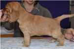 Picture of Show quality gold female for sale