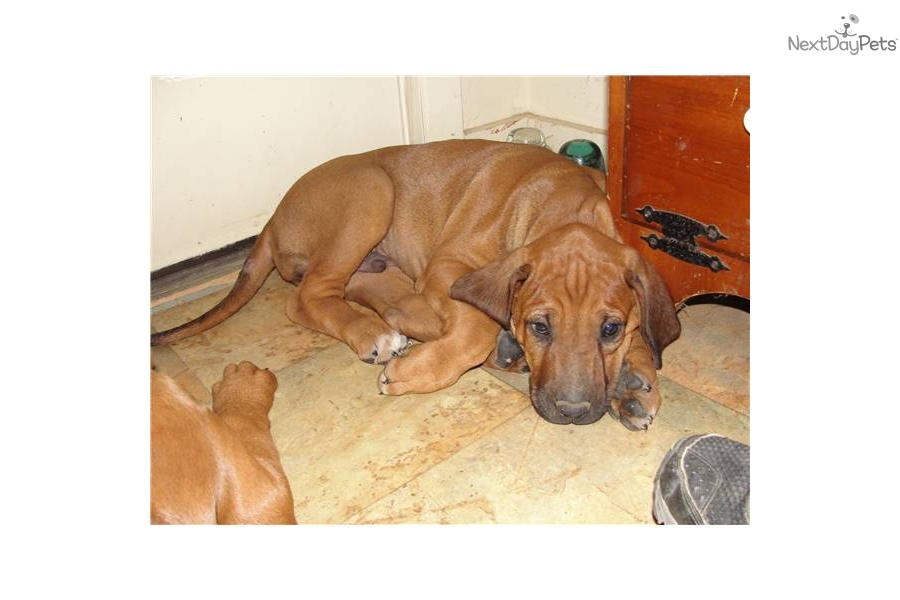 Rhodesian Ridgeback puppy for sale near Jonesboro ...