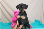 Picture of a Carlin Pinscher Puppy