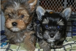 Picture of MERLE YORKIE MALE