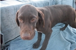 Picture of Puppy #VT8