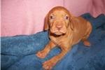 Picture of Puppy #MY3 AKC Golden Rust Female Vizsla