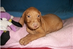 Picture of Puppy #GR9 AKC Golden Rust Male Vizsla